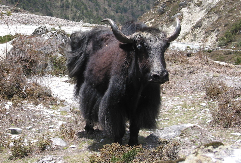 Yak on the way - Everest Three Pass Trek