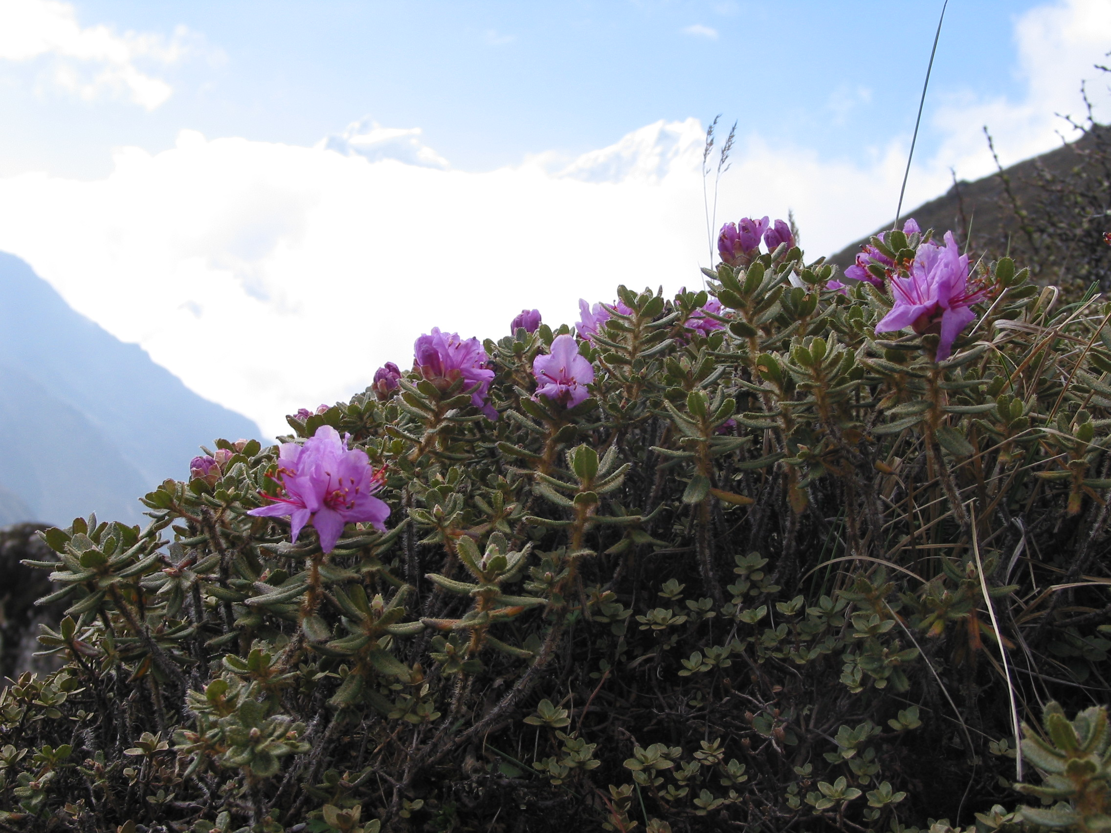 Flowers and fauna in Everest region
