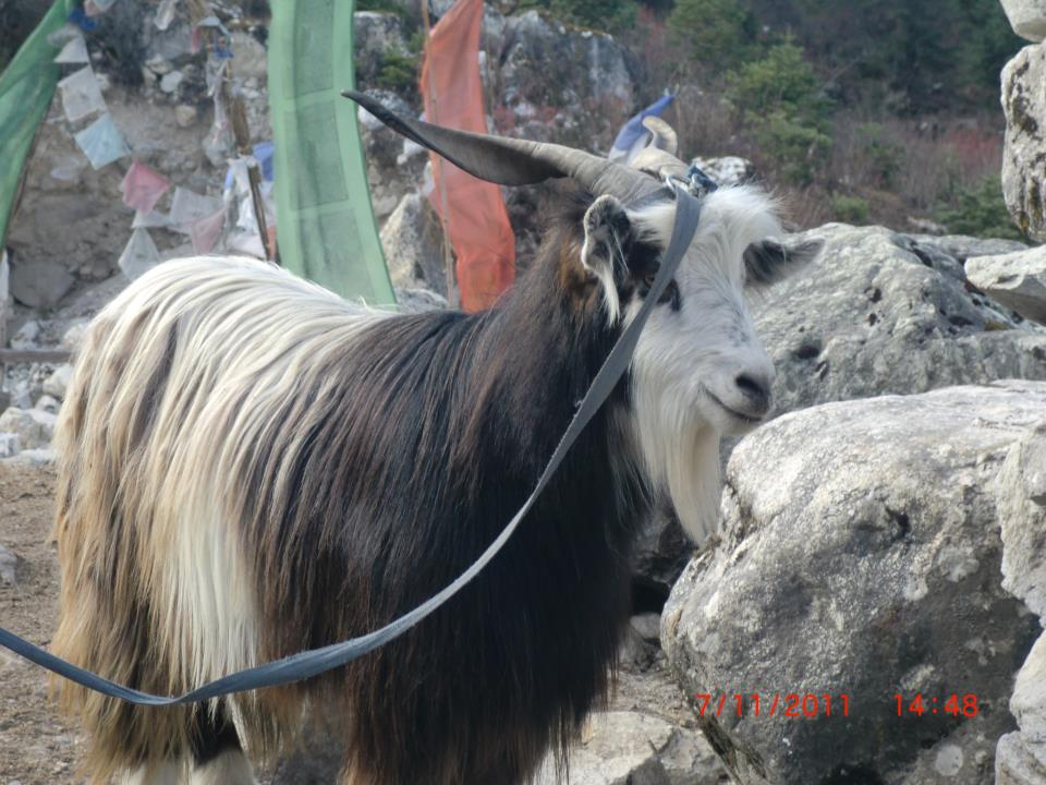 Sheep - Manaslu Circuit Trekking