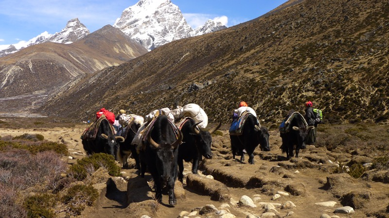 Yaks on the way to Everest Base Camp Trek