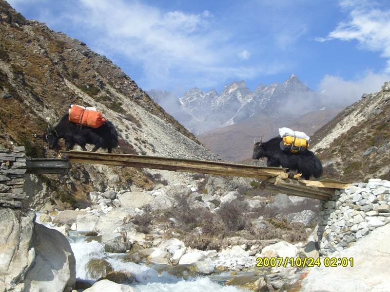 Yaks crossing the wooden bridge in Everest region