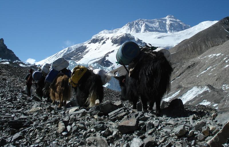yaks carrying loads to ABC